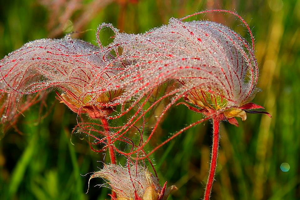 7th Place - Morning Dew on Prairie Smoke