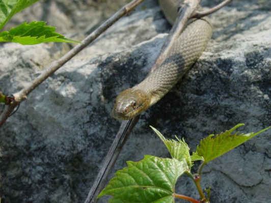 Recovered Lake Erie watersnake (Nerodia sipedon insularum)