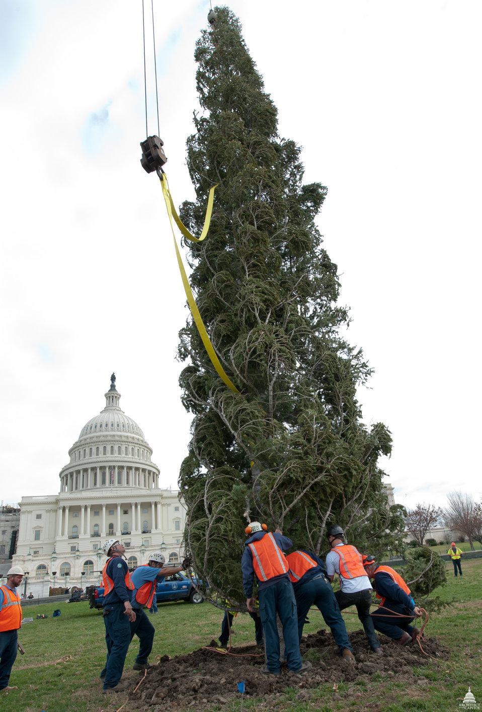 Christmas Tree Arrives as the U.S. Capitol
