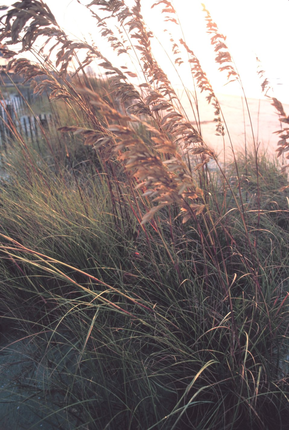 Sea oats in the morning sun