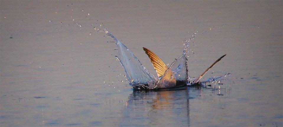 Diving Forster's Tern