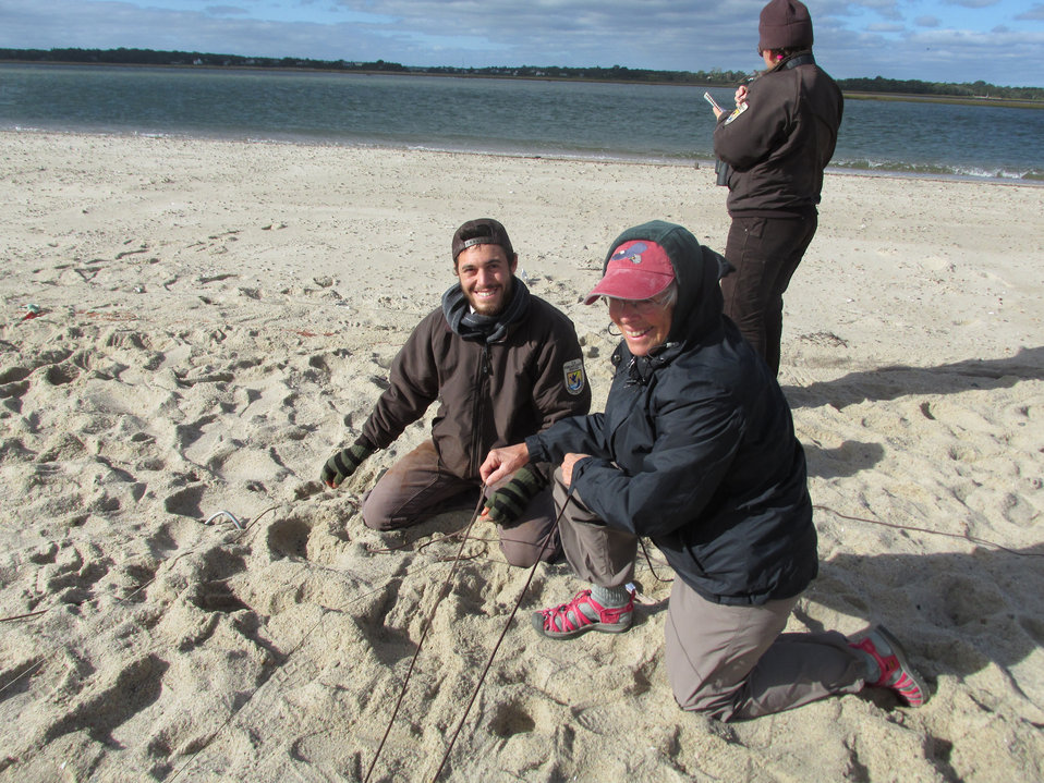 Red knot cannon netting in Cape Cod