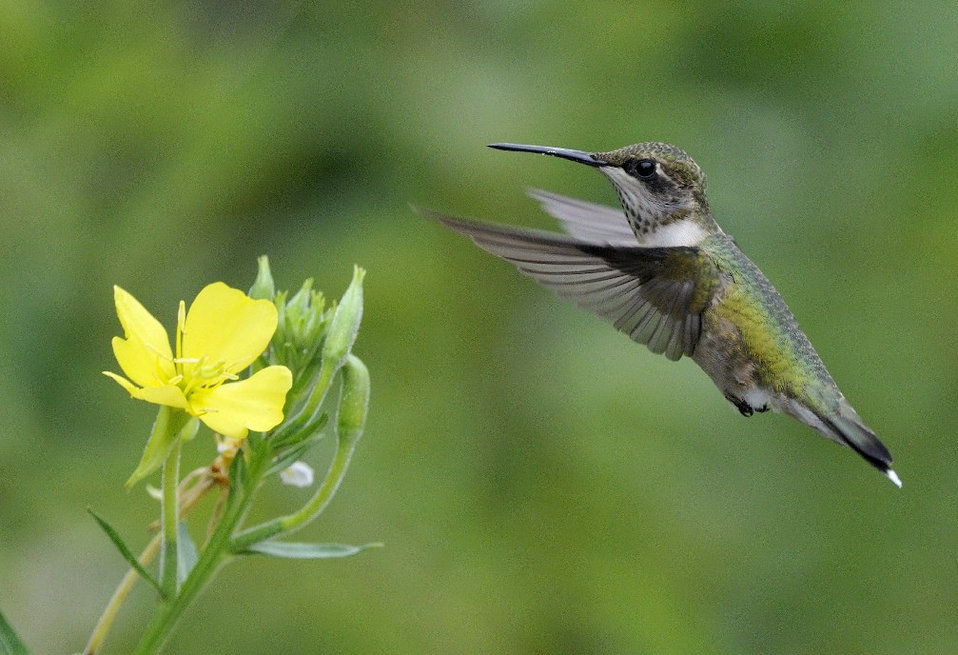 Photo of the Week - Ruby-throated Hummingbird (MA)