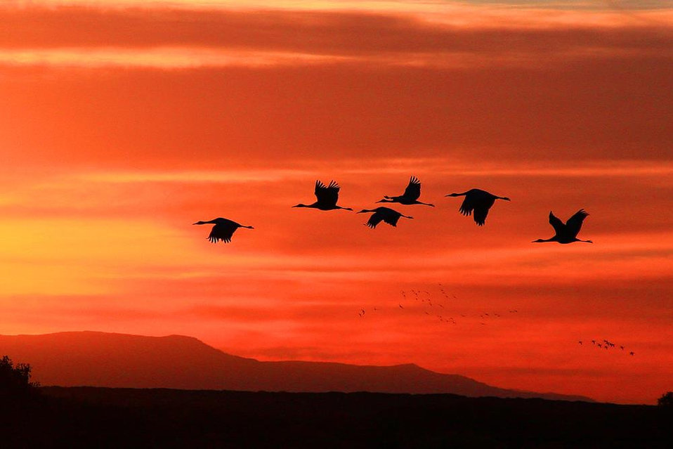 sandhill cranes at sunset, Bosque del Apache NWR