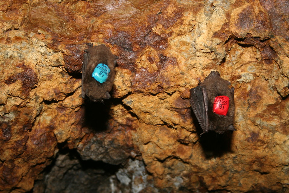 Two bats with recently attached dataloggers