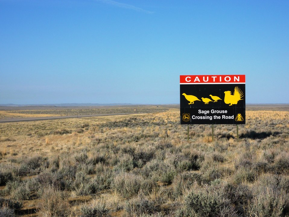 Sage-grouse Crossing!