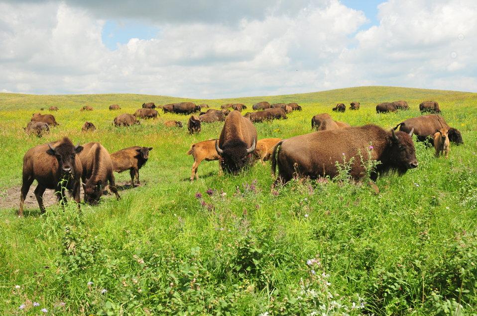 Bison on Ordway Prairie 2