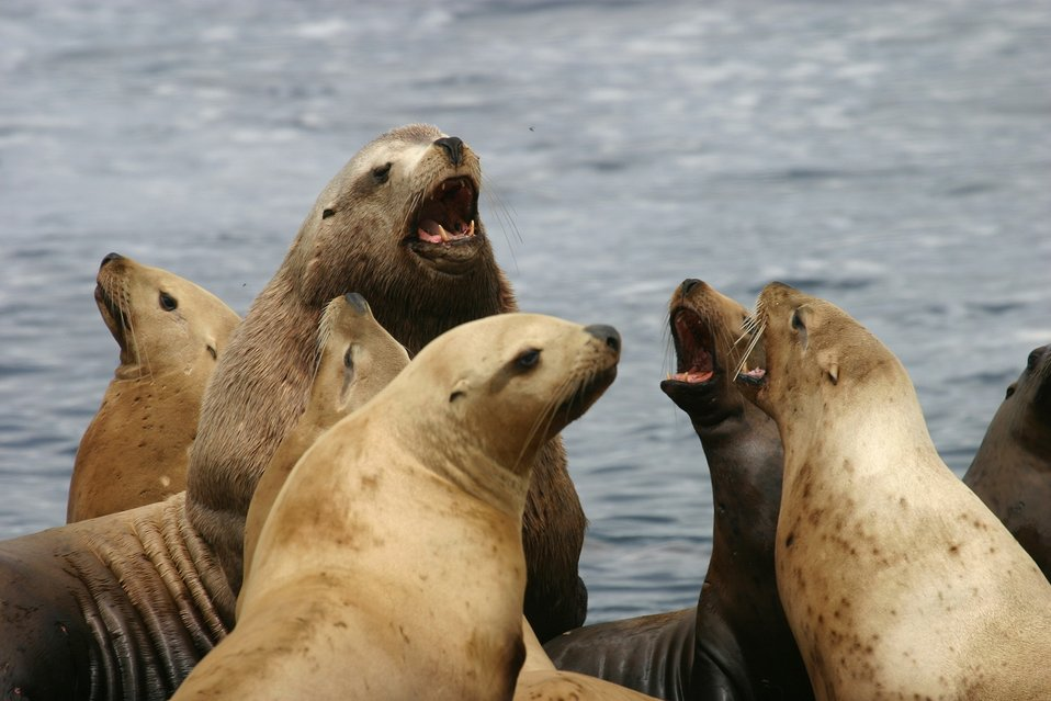 Steller sea lions, Oregon Islands NWR