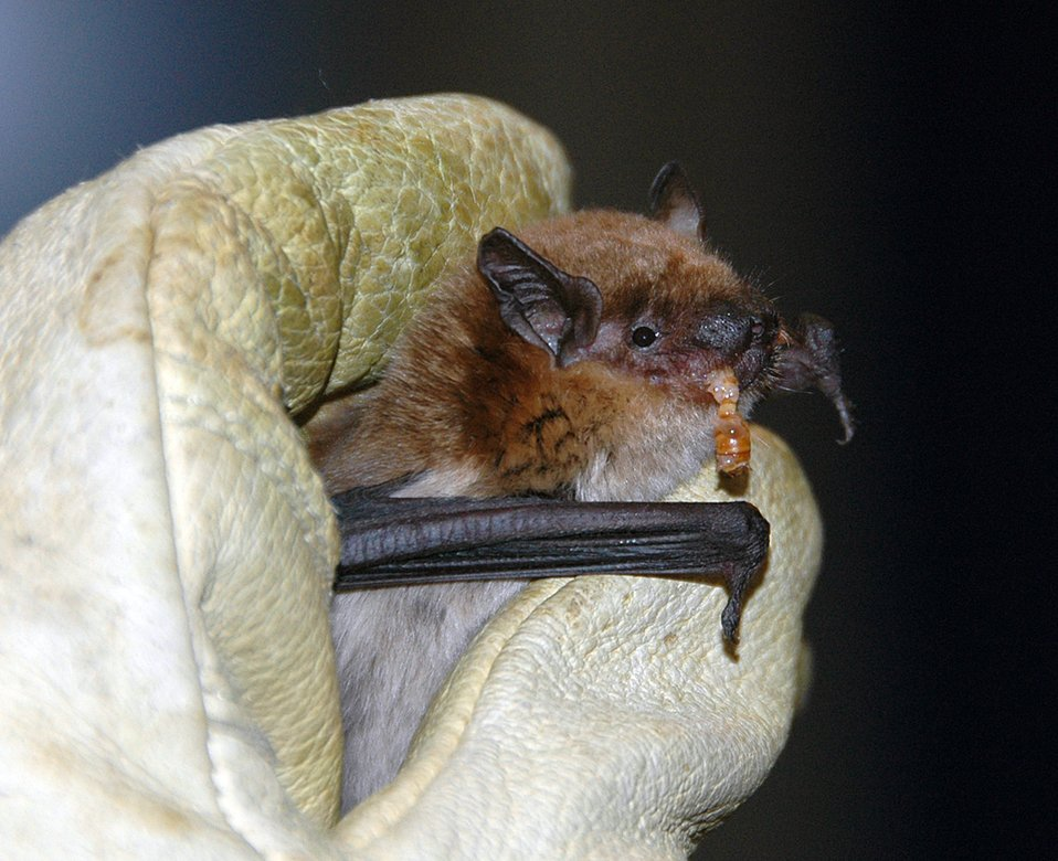 Big brown bat eats a meal worm
