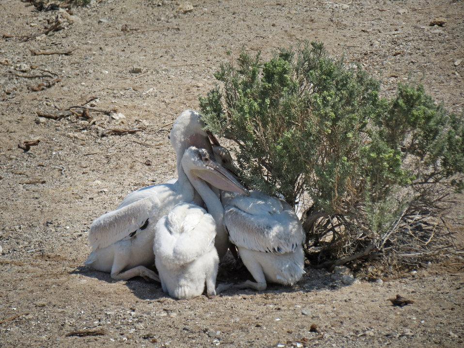 Anaho Island NWR juvenile American white pelicans