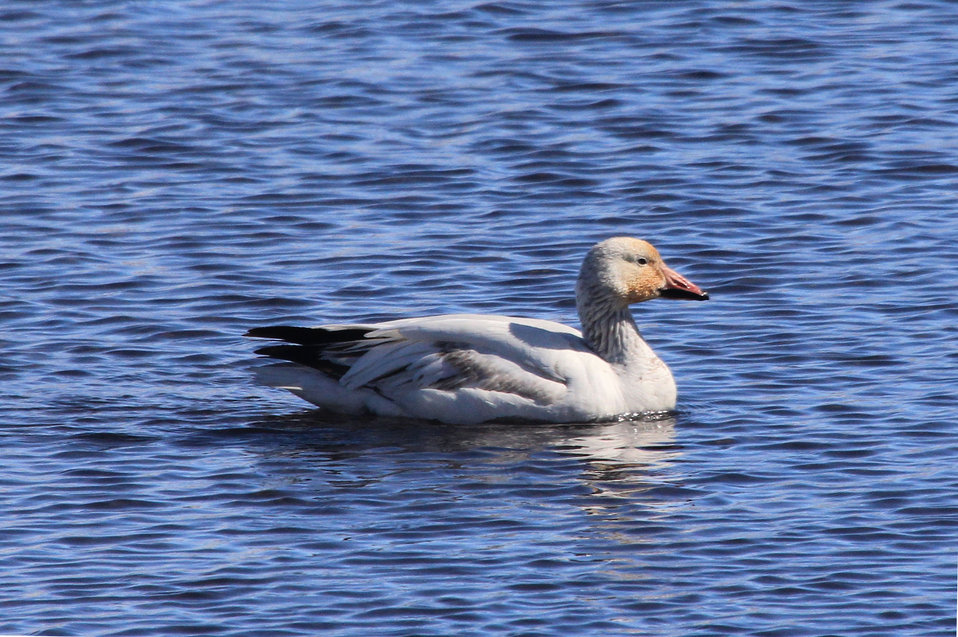 Snow Goose Visitor