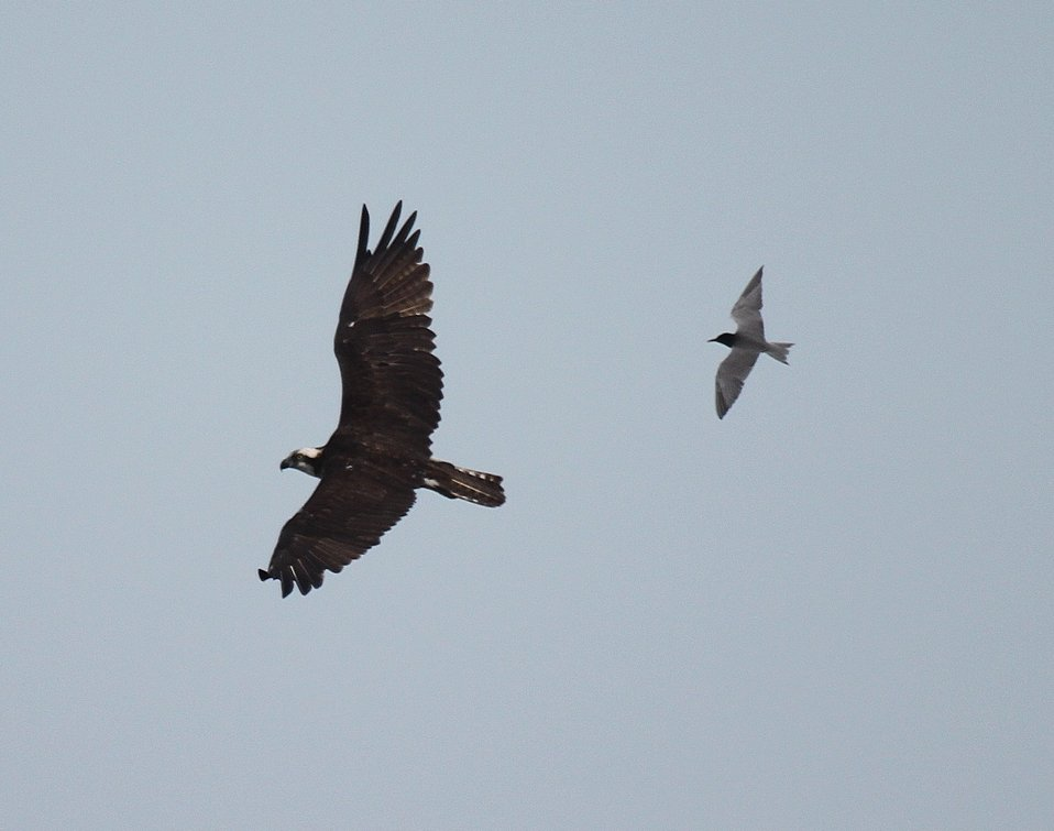Black Tern and Osprey