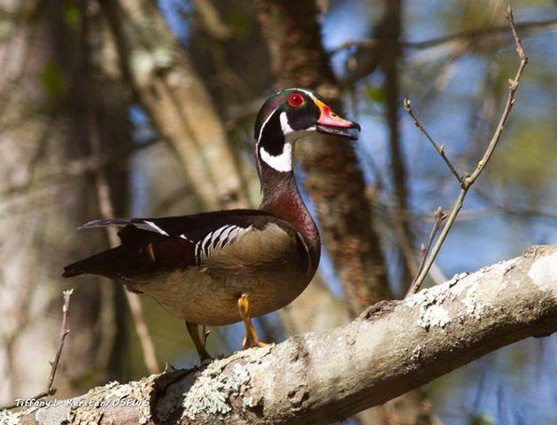 Photo of the Week - Wood Duck (NJ)