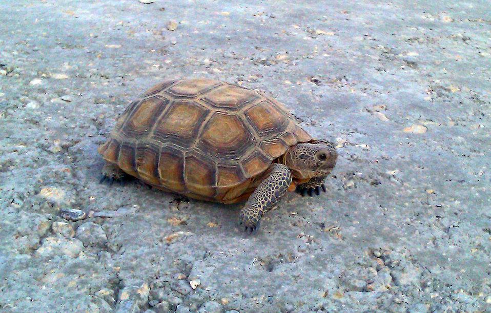 Desert Tortoise2