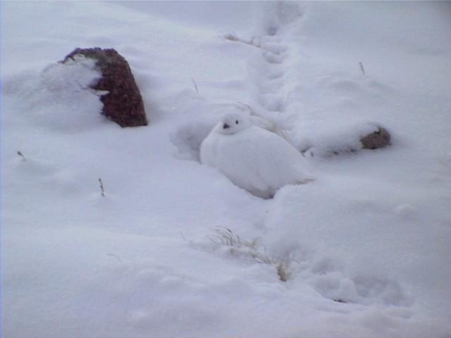 White-tailed Ptarmigan in Snow