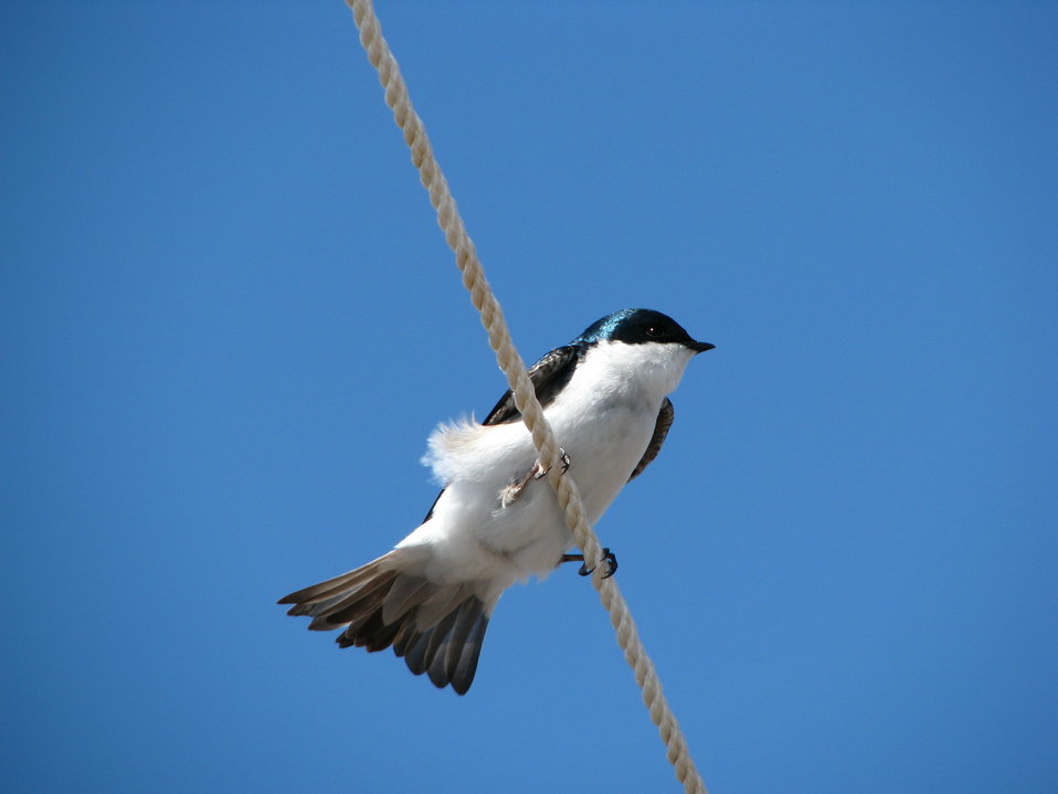 Tree swallow perched on tie down