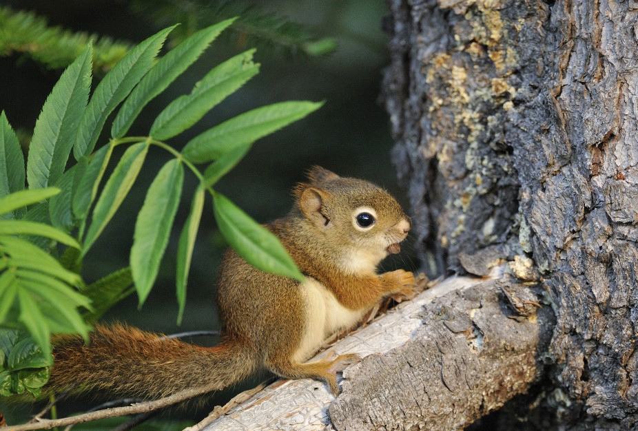 Photo of the Week - American Red Squirrel (ME)