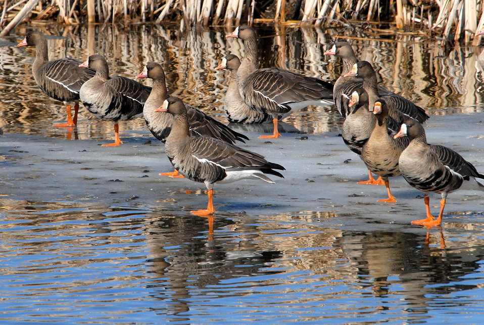 White-fronted Geese
