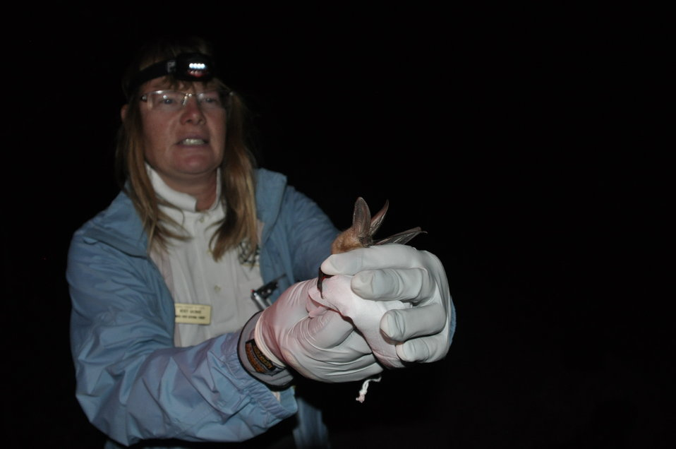 Wildlife biologist prepares to release bat