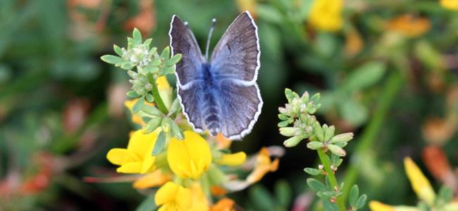 Palos Verde Blue Butterfly