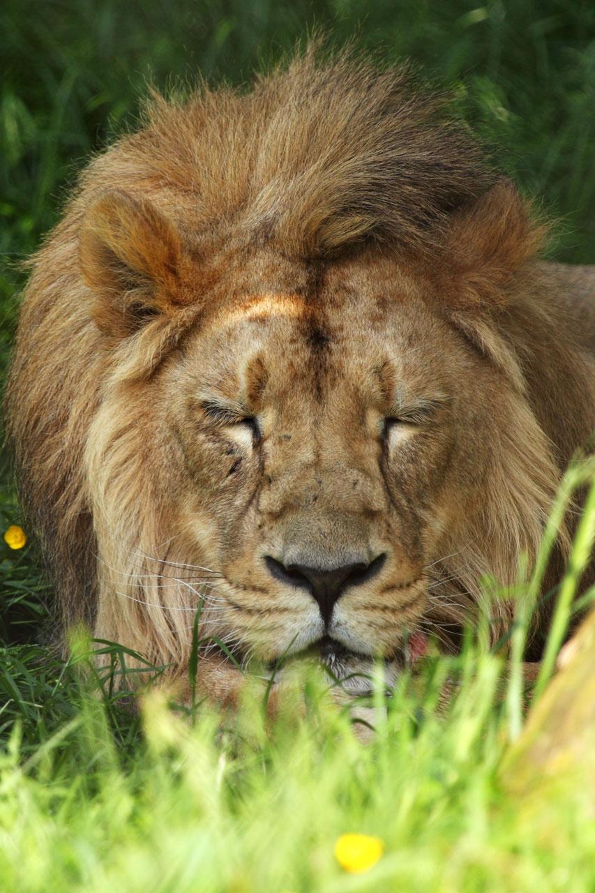 Resting lion