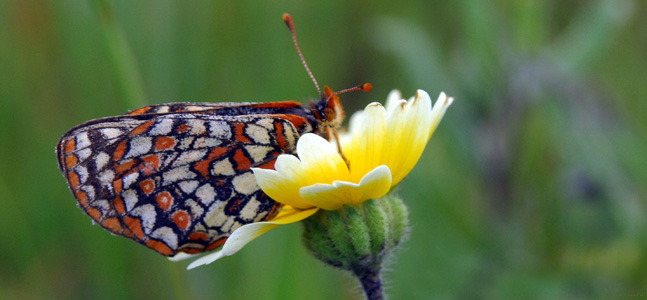 Bay Checkerspot Butterly