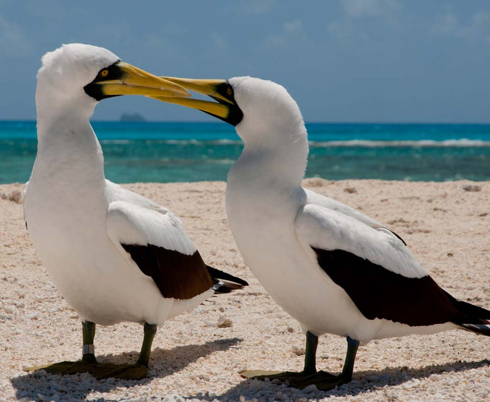 Masked Boobies Courting