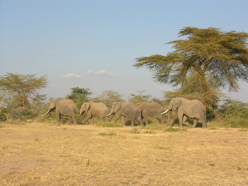 Elephant Study 4