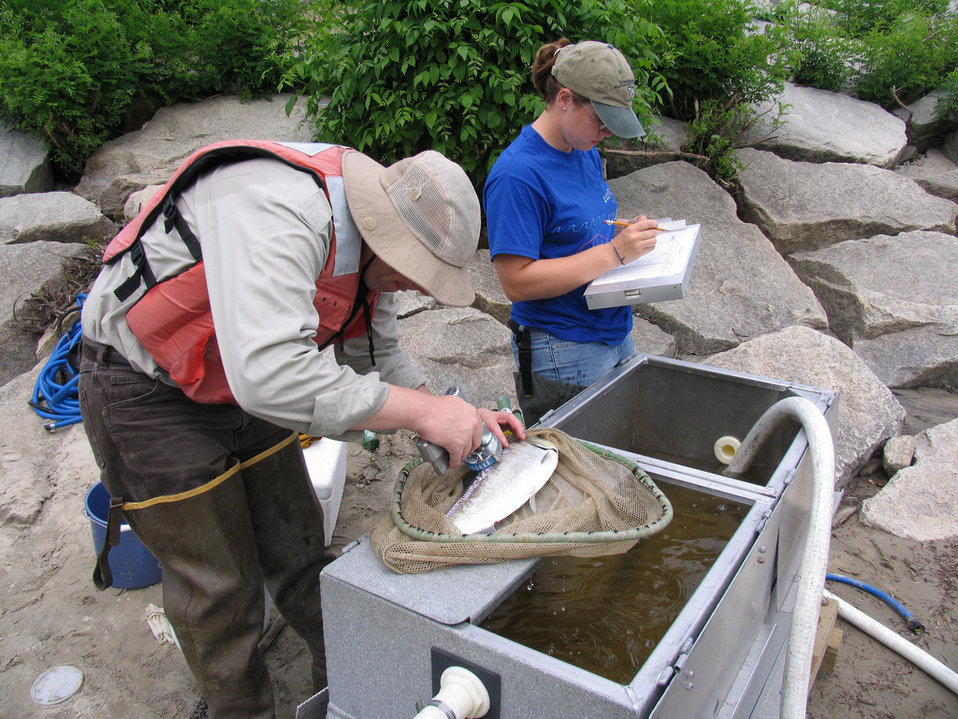 Merrimack shad sampling