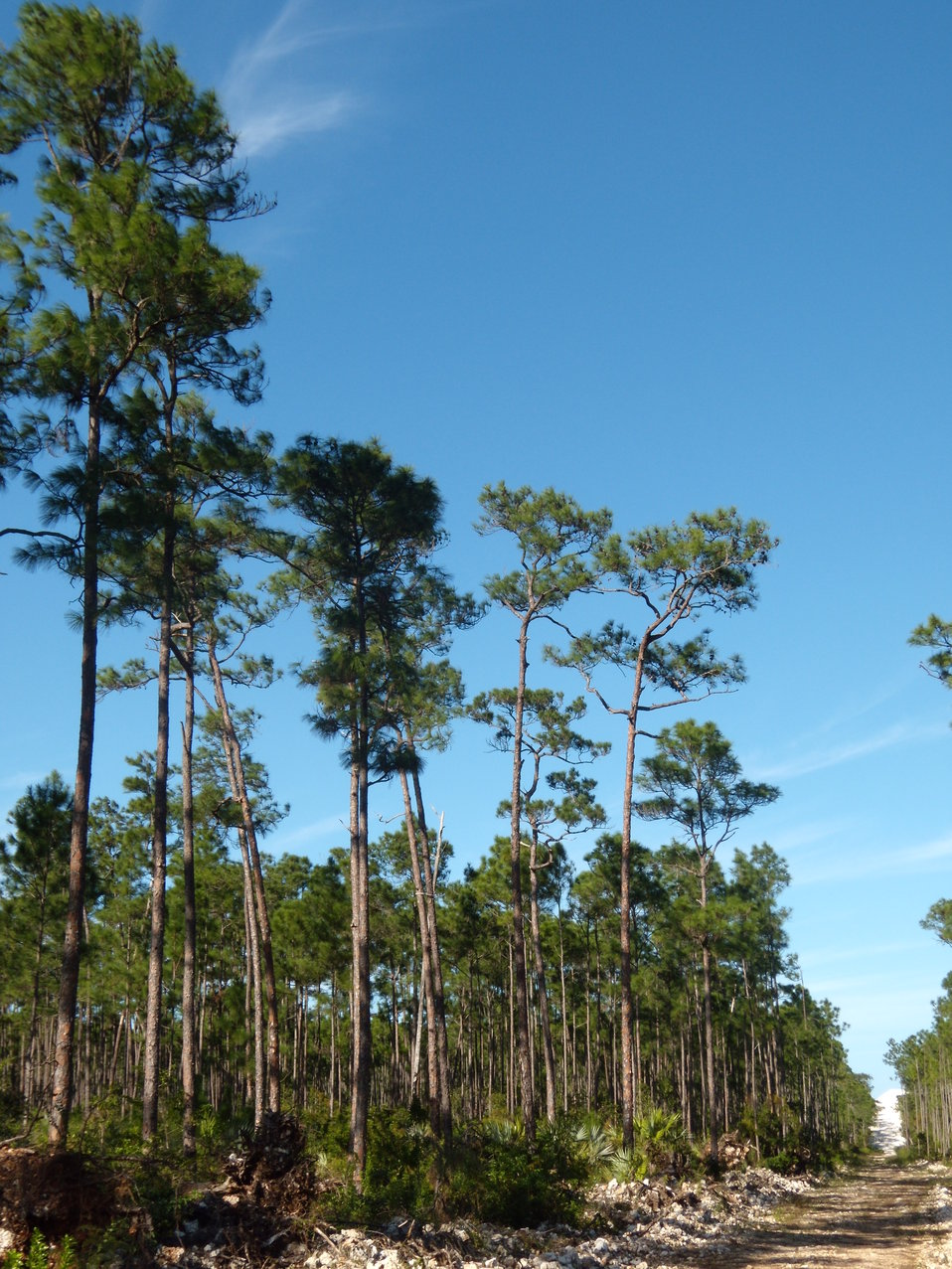 Caribbean pine forest
