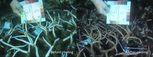Acropora Corals