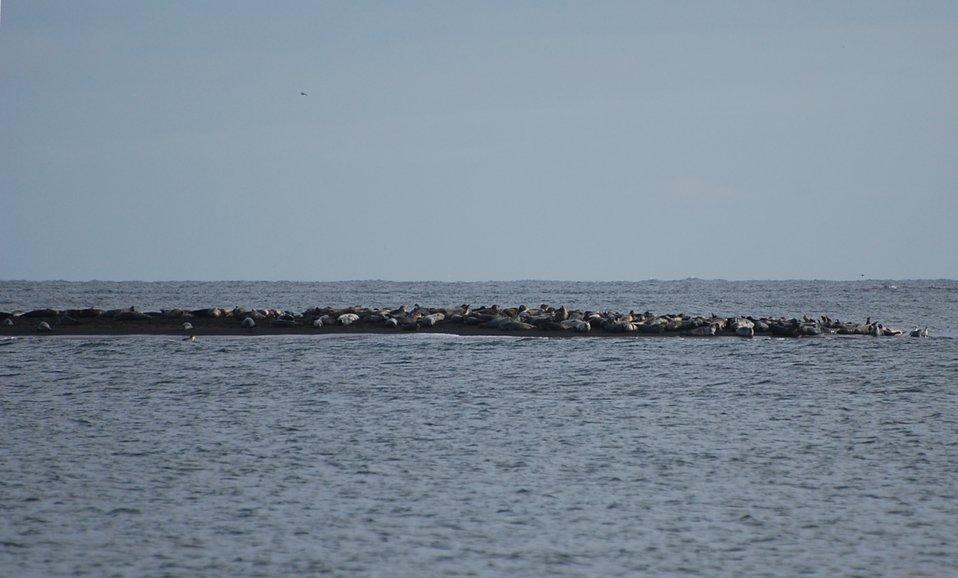 Harbor Seals in Izembek