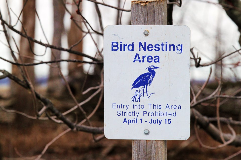 Great blue herons nesting area at Missisquoi National Wildlife Refuge