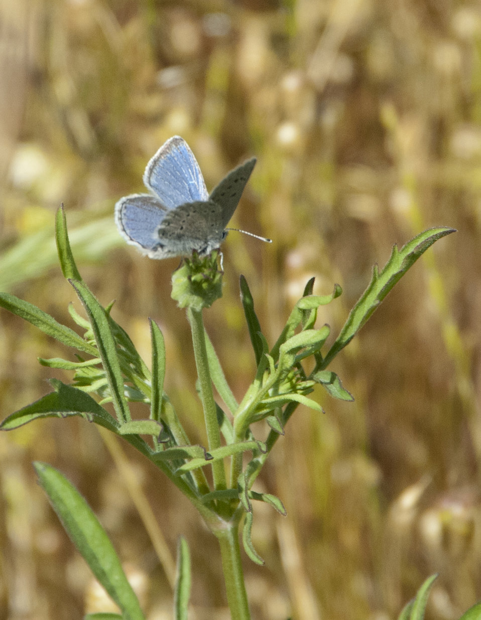 Mission Blue Butterfly-male