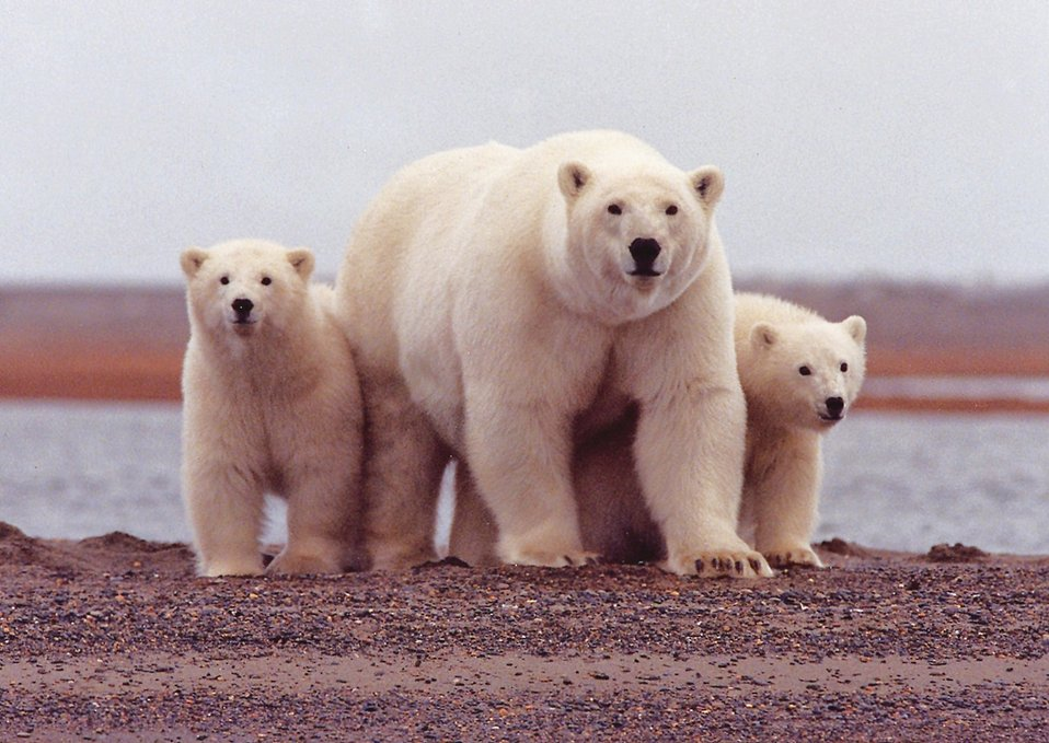 Polar bear with young, Arctic NWR