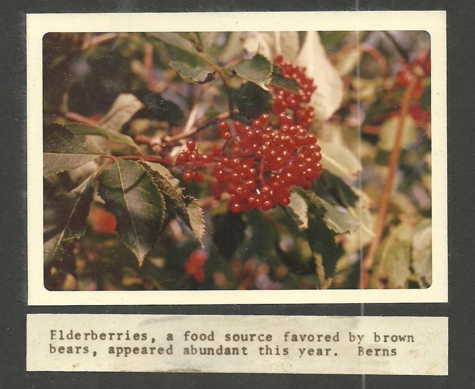 (1971) Elderberries