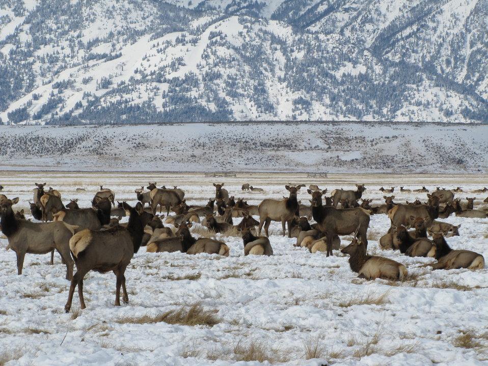 Jackson Elk Herd