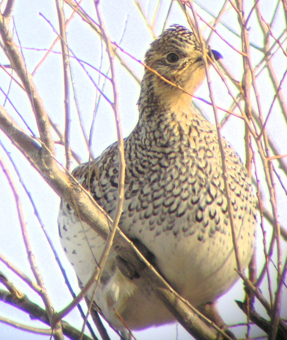 Sharp-tailed Grouse in Tree Lacreek NWR