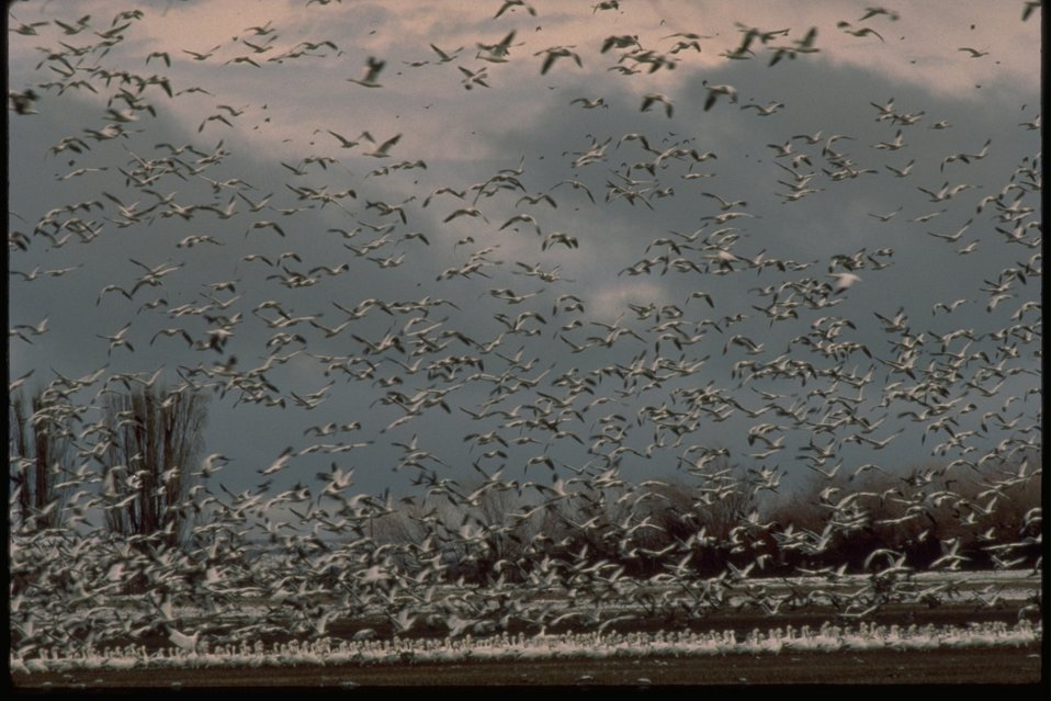 Hundreds of Snow Geese taking off.