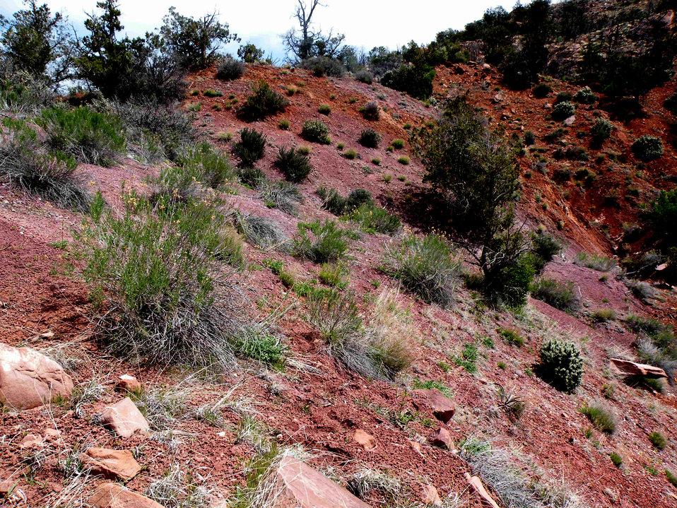 Shivwits milkvetch - habitat (Astragalus ampullarioides)