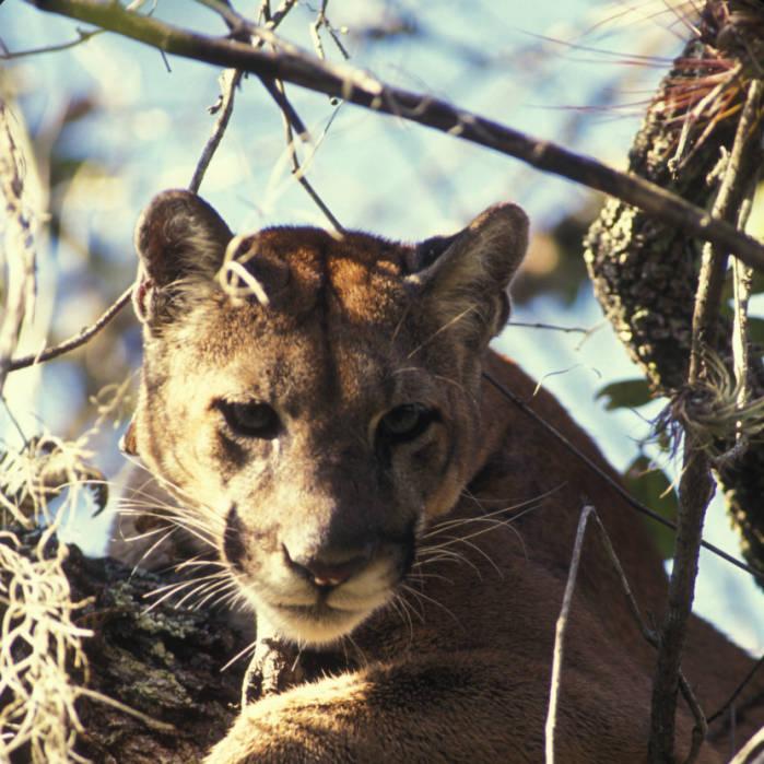 Florida panther, Florida Panther National Wildlife Refuge