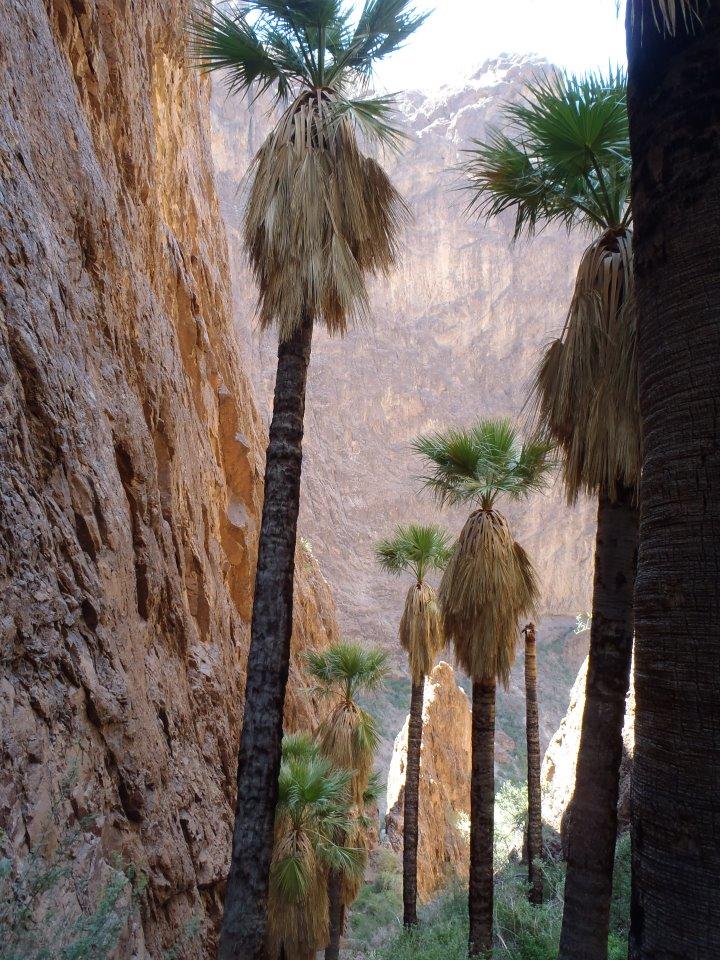Washingtonia palms, Kofa National Wildlife Refuge, AZ