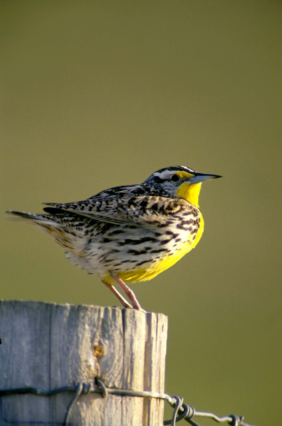 Meadow Lark