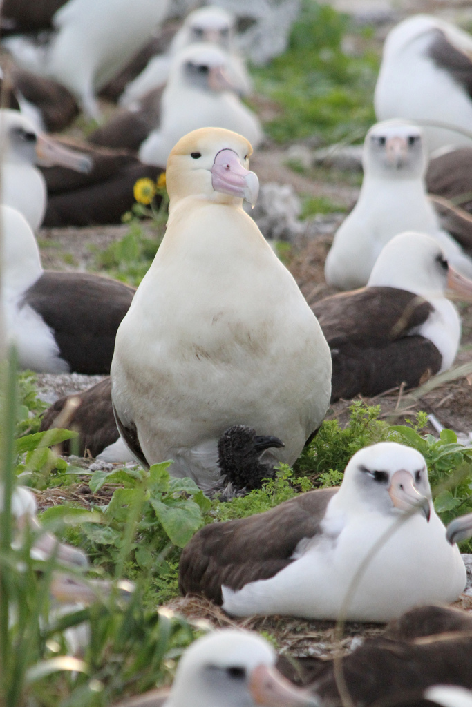 male short-tailed albatross with its chick