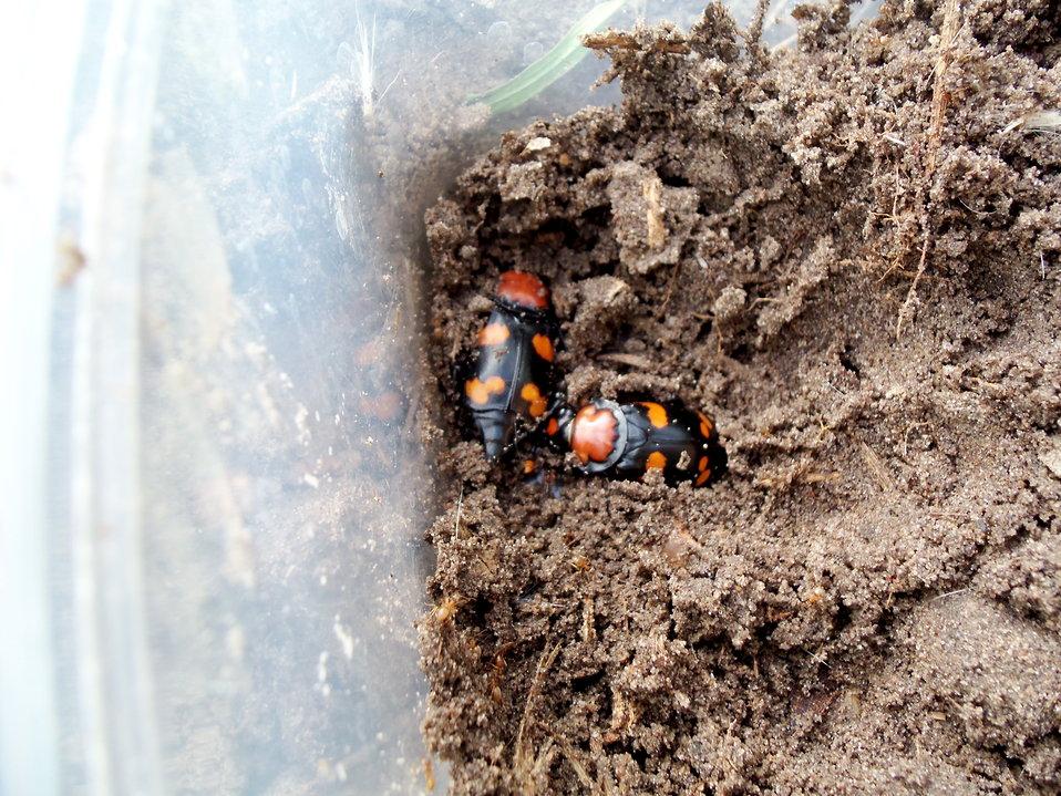 American Burying Beetles
