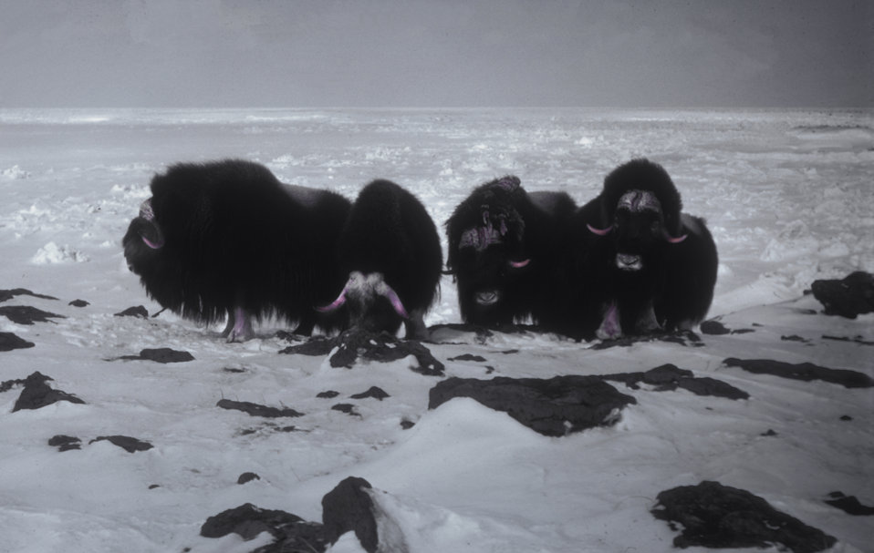 Muskox at Dahkit Cove, Nunivak Island