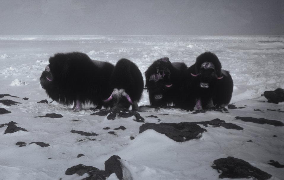 Muskox at Dahkit Cove, Nunivak Island