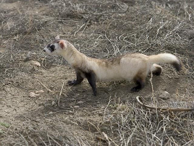 Black-footed Ferret Full Body