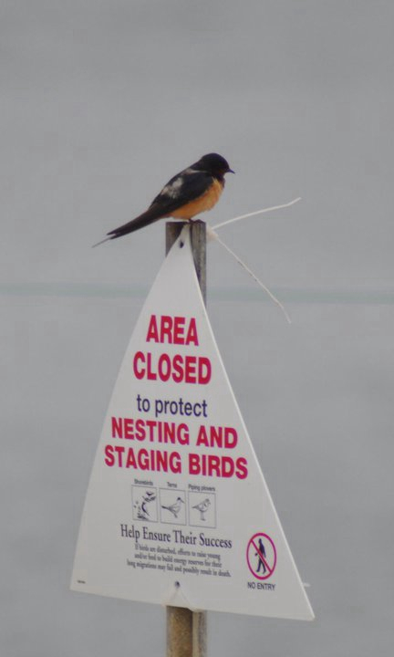 barn swallow on sign