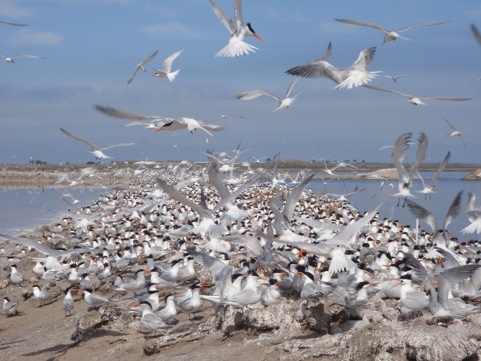 Terns swarm the salt ponds on San Diego Bay NWR in June